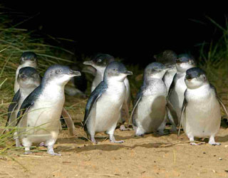Penguins on beach at Phillip Island Day Tour